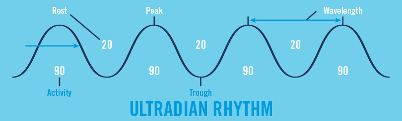 Ultradian Rhythm