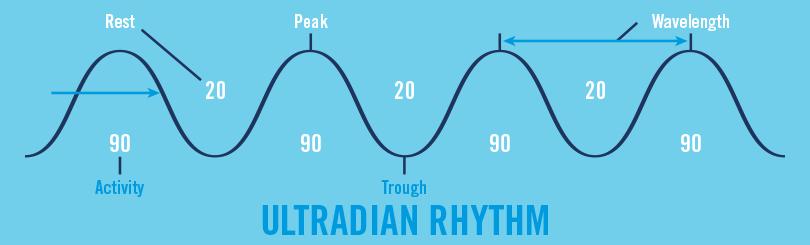Ultradian Rhythm